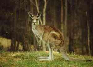 gallery_kangaroo